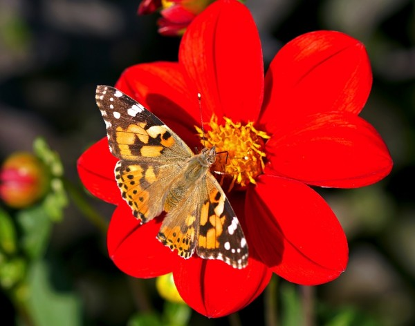 A painted Lady butterfly (Vanessa cardui). (Pixabay)