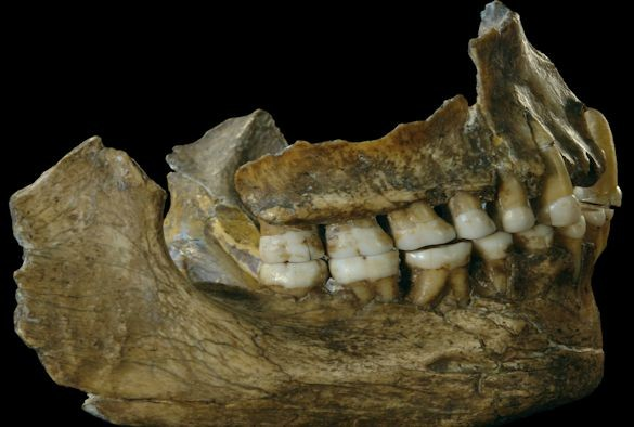 Neanderthal plaque from teeth reveals some very sophisticated human behavior regarding medicinal use. (University of Liverpool)
