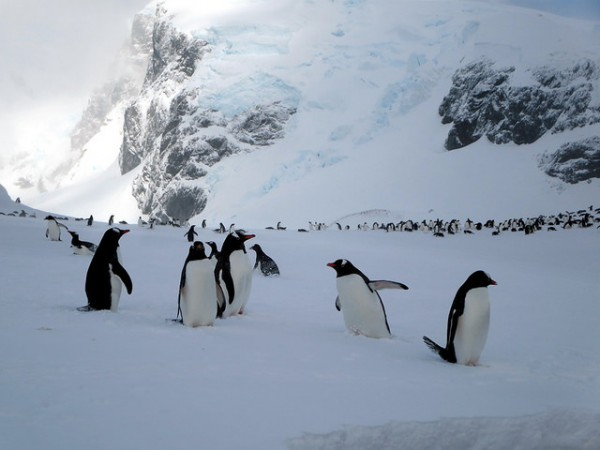 A large gentoo penguin colony is found on Cuverville Island just off the Antarctic Peninsula. (David Stanley/CC BY 2.0)