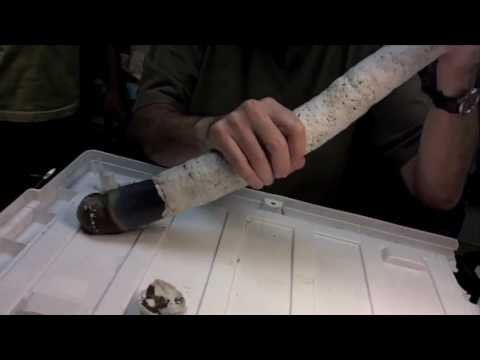 The giant shipworm is a mud-dwelling animal and is believed to have been in existence since the 18th century.  (YouTube)